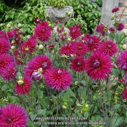 Photo of Dahlia (Dahlia 'Hillcrest Royal')