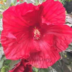 Photo of Hibiscus (Hibiscus moscheutos Summerific™ Cranberry Crush)