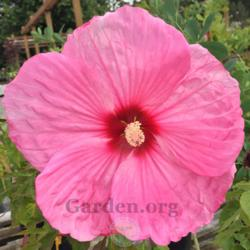 Photo of Tropical Hibiscus (Hibiscus rosa-sinensis 'Party Favor')