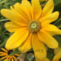 Photo of Gloriosa Daisy (Rudbeckia hirta 'Prairie Sun')