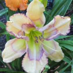 Photo of Daylily (Hemerocallis 'Nicholas Brunetti')