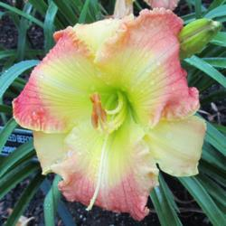 Photo of Daylily (Hemerocallis 'Humbled Before You')