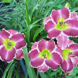 Photo of Daylily (Hemerocallis 'Substance of Fire')
