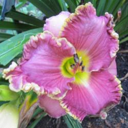 Photo of Daylily (Hemerocallis 'Bulgari')