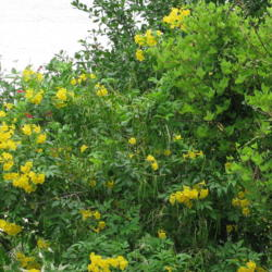 Photo of Yellow Bells (Tecoma stans)