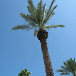 Photo of Date Palm (Phoenix dactylifera)