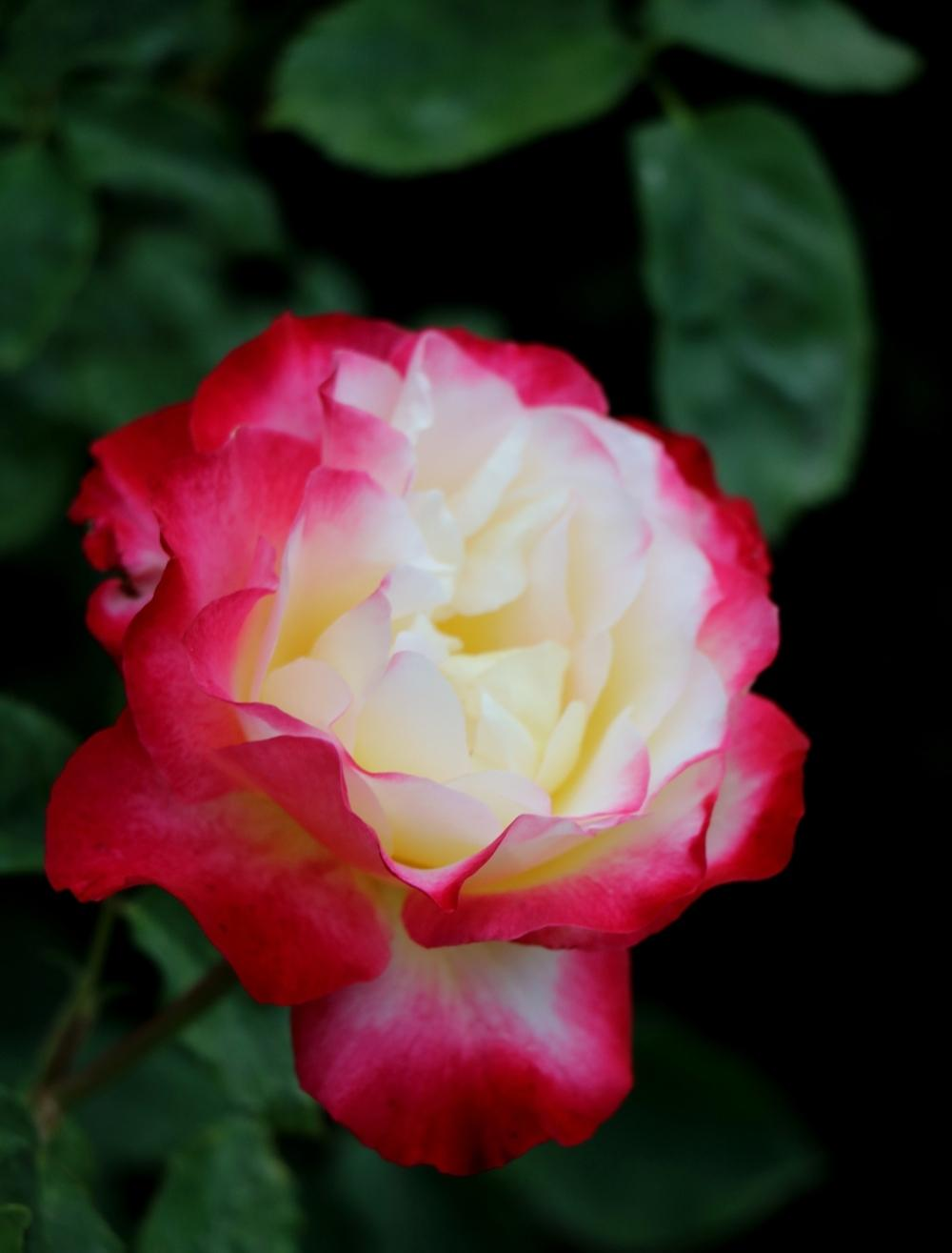 Photo of Rose (Rosa 'Double Delight') uploaded by skylark