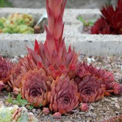 Photo of Hen and Chicks (Sempervivum 'Zulu')