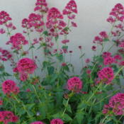 Location: Nora's Garden - Castlegar, B.C.Date: 2016-06-03 4:06 pm. This desirable perennial gives a 3 to 4 month period of