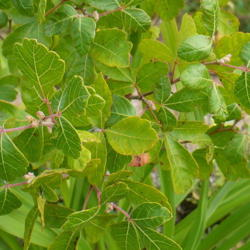 Photo of Fragrant Sumac (Rhus aromatica 'Gro-Low')