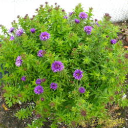 Photo of New England Aster (Symphyotrichum novae-angliae 'Purple Dome')