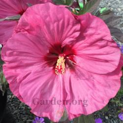 Photo of Hibiscus (Hibiscus moscheutos Summerific™ Berry Awesome)