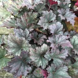 Photo of Coral Bells (Heuchera 'Frosted Violet')