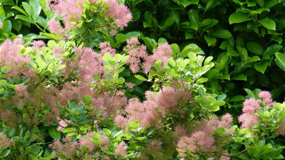 Smoketrees: Plant Care and Collection of Varieties - Garden org