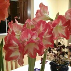 Photo of Amaryllis (Hippeastrum 'Minerva')