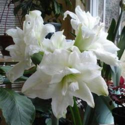Photo of Amaryillis (Hippeastrum 'White Nymph')