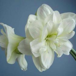 Photo of Amaryllis (Hippeastrum 'Marquis')