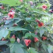 Flowering Maple Abutilon Sweet Tea Fairy Coral Red In The