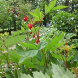 Photo of Bleeding Heart (Lamprocapnos spectabilis 'Valentine')