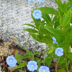Photo of Blue Flax (Linum perenne 'Sapphire')