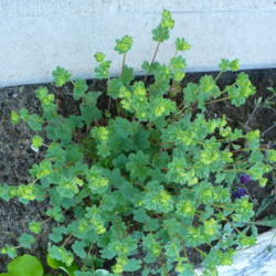 Photo of Dwarf Lady's Mantle (Alchemilla erythropoda)