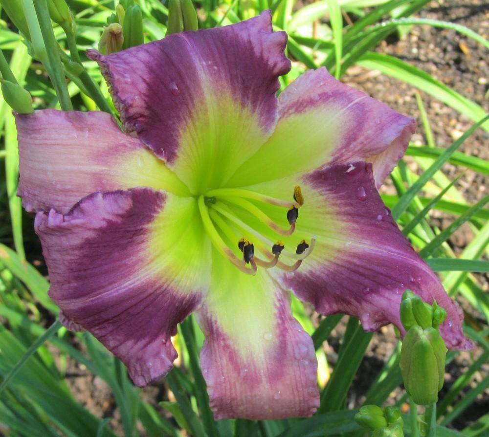 Photo of Daylily (Hemerocallis 'Crazy Miss Daisy') uploaded by Sscape