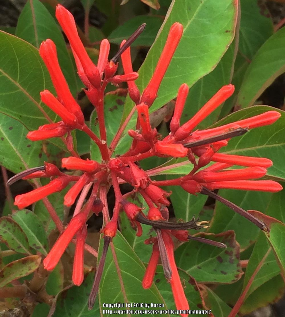 Photo of Firebush (Hamelia patens) uploaded by plantmanager