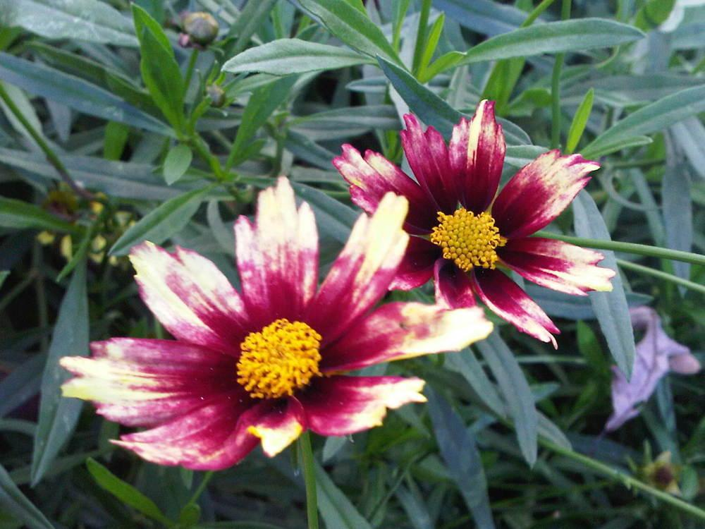 Photo of Tickseed (Coreopsis Big Bang™ Redshift) uploaded by Donnerville