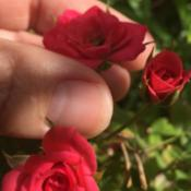 Location: HomeSuper tiny roses in full bloom. The size of my thumb na