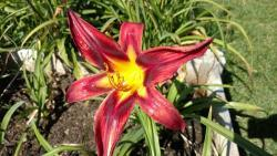 Thumb of 2016-09-03/DogsNDaylilies/739da5
