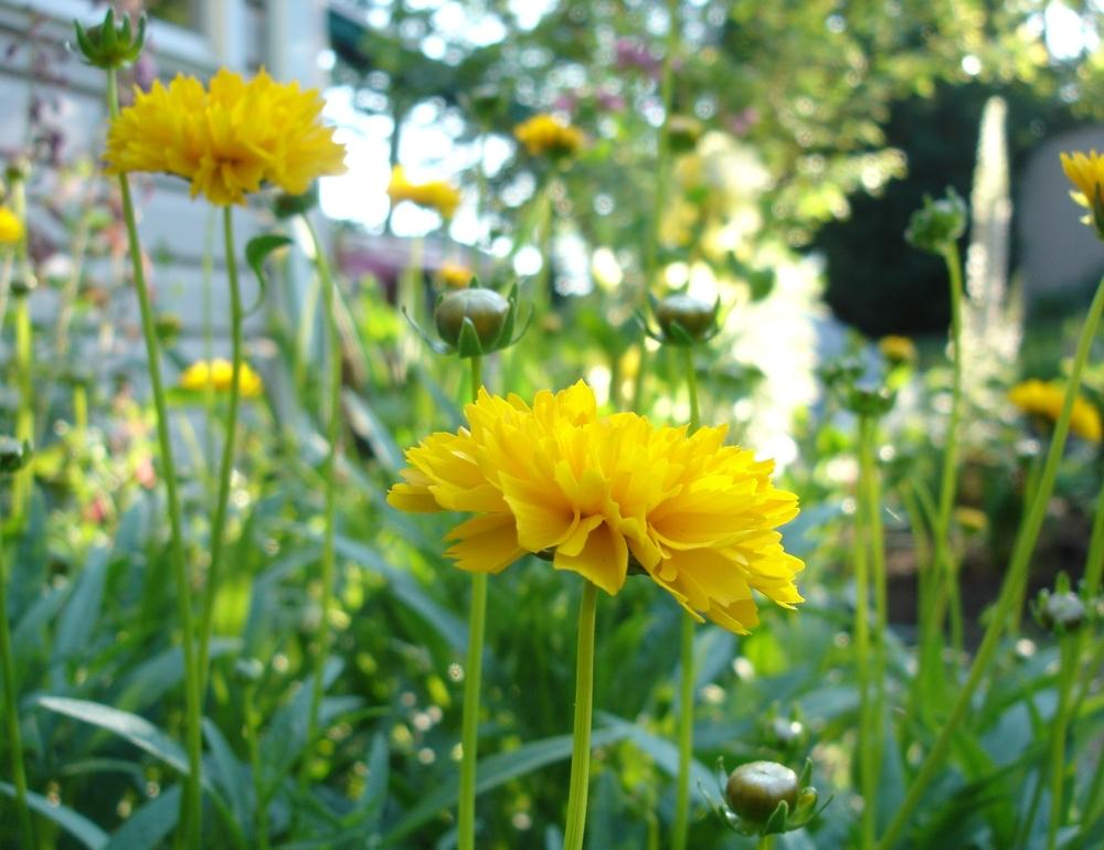 Photo of Large-flowered Tickseed (Coreopsis grandiflora 'Early Sunrise') uploaded by Donnerville