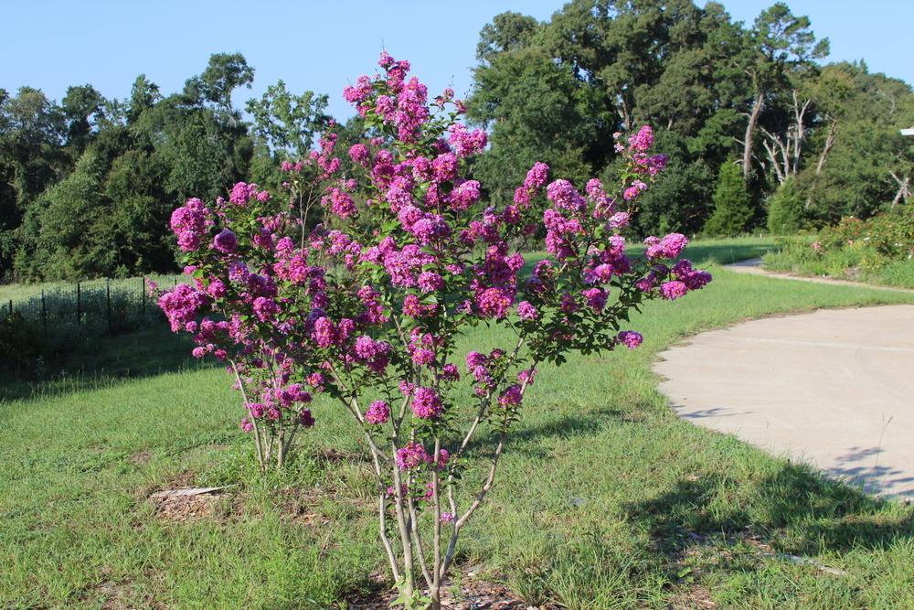 Crepe Myrtles Plant Care And Collection Of Varieties
