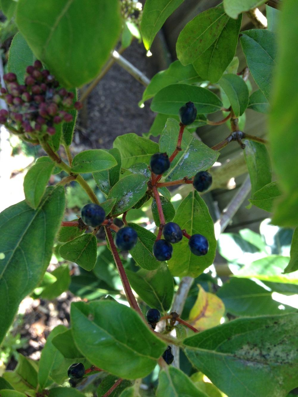 Plant id forum tree id white flower blue berries garden thumb of 2016 09 05eljardinerogringo28a5f2 izmirmasajfo