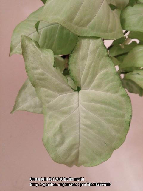 Photo of Arrowhead Plant (Syngonium podophyllum) uploaded by Hamwild