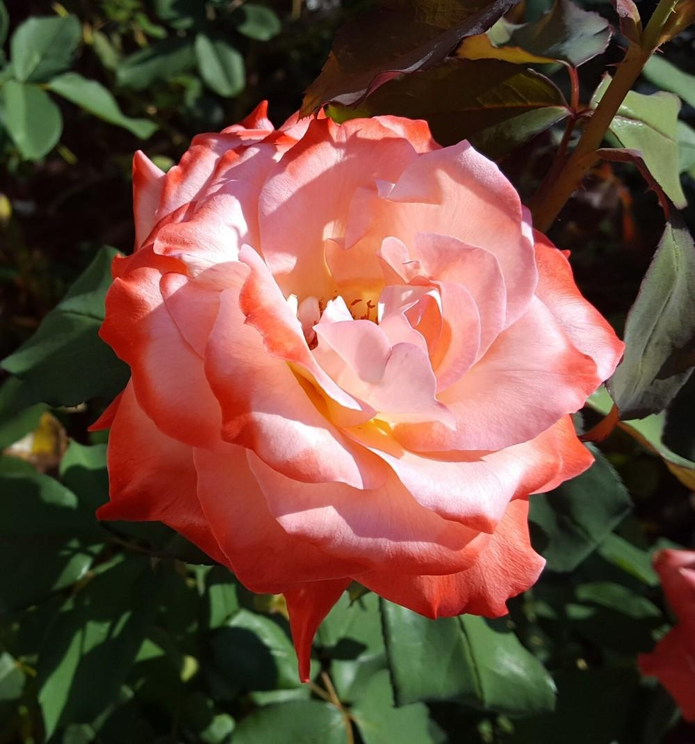 Photo of Rose (Rosa 'Brigadoon') uploaded by clcroses