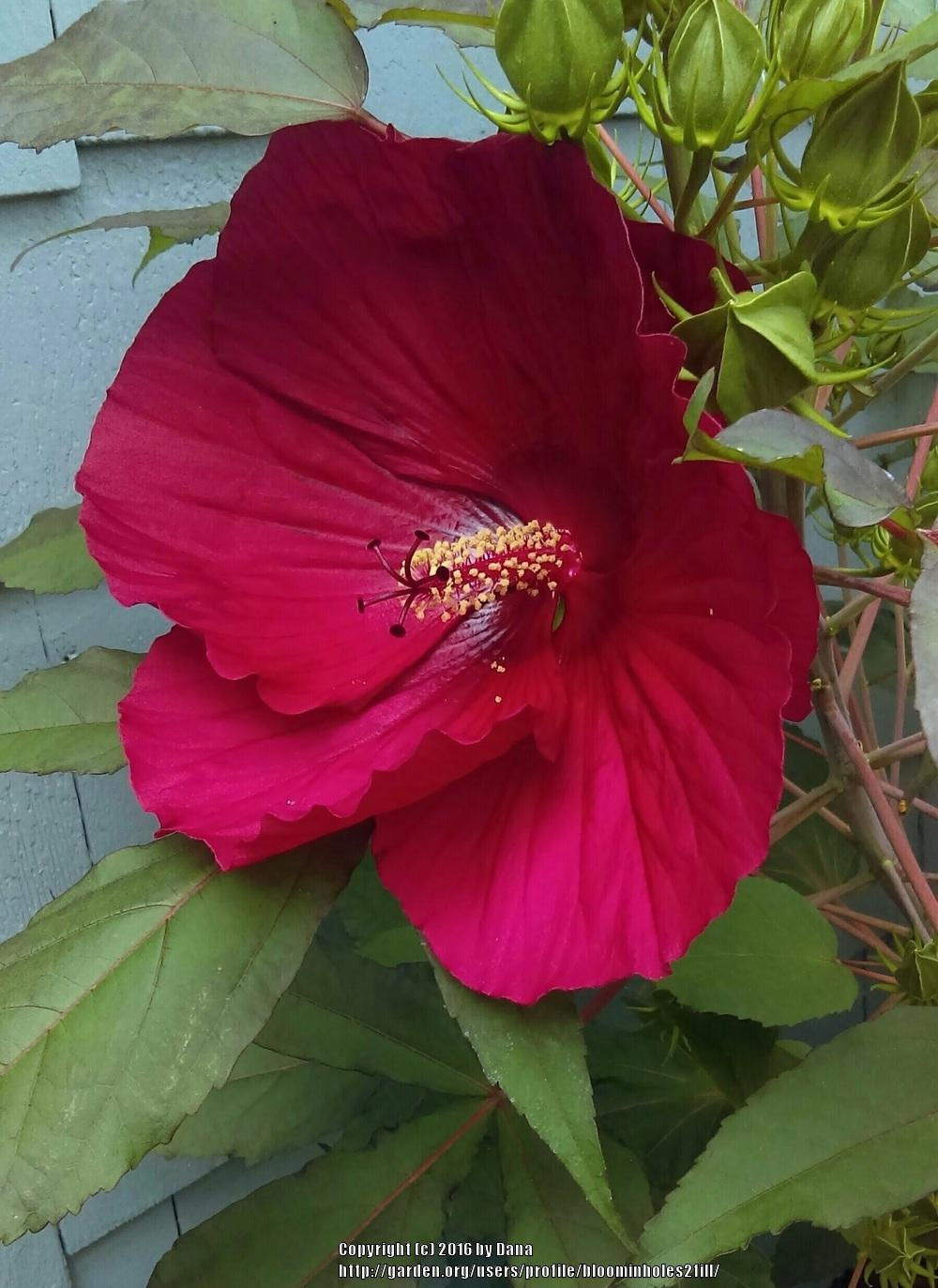 Classifieds and group buys forum mature midnight marvel hibiscus thumb of 2016 09 06bloominholes2fill786f0b izmirmasajfo