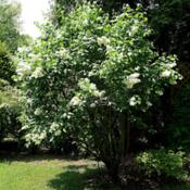 Location: My backyard in Allentown, PADate: 10 May 2013A 50 plus year old lilac bush on 10 May 2013.