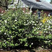 Location: Ms Althea's backyard in Allentown, PADate: 28 April 2013Two forty plus year old shrubs with nice flowers and fantastic ar