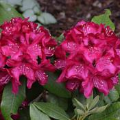 Location: My backyard in Allentown, PADate: 21 May 2015Even on an overcast day, two Nova flower trusses show b