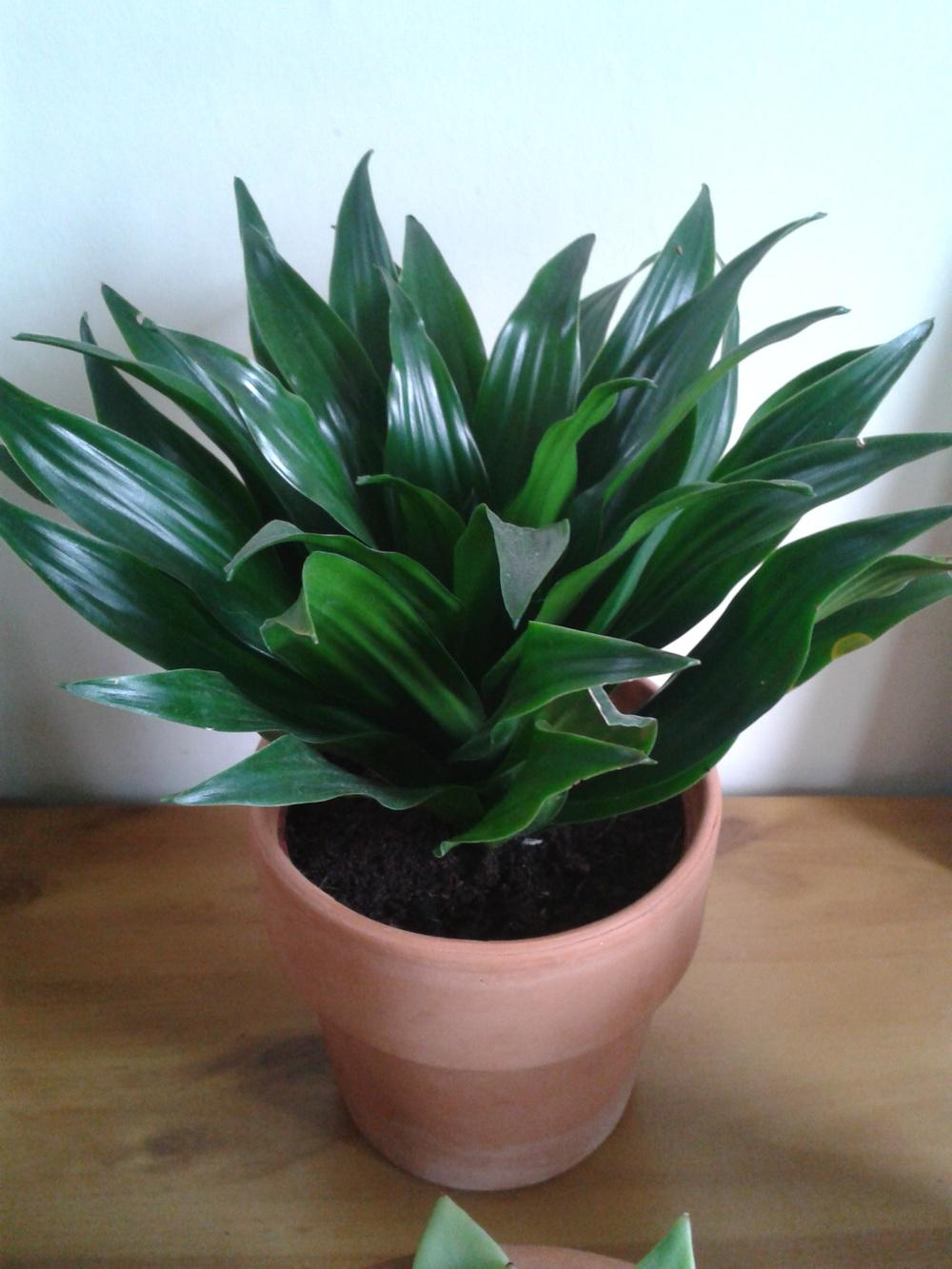 photo of the entire plant of dracaena dracaena fragrans. Black Bedroom Furniture Sets. Home Design Ideas
