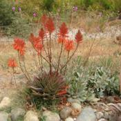 Location: Baja CaliforniaDate: 2013-06-28Aloe x nobilis