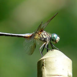 Thumb of 2016-09-12/Sheridragonfly/5b051b