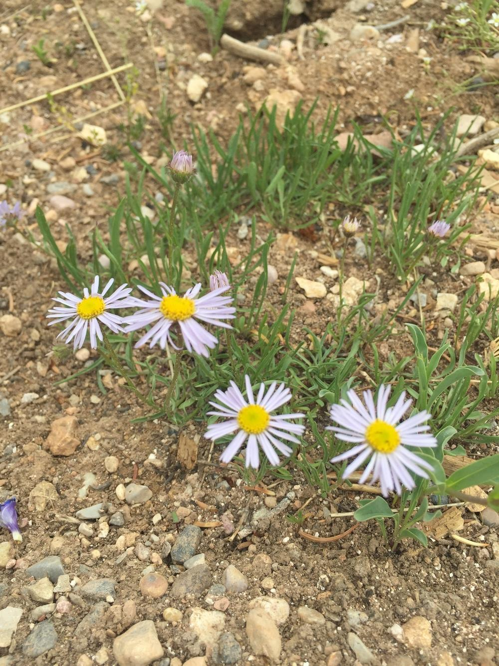 Photo of Daisy Fleabane (Erigeron speciosus) uploaded by SpringGreenThumb
