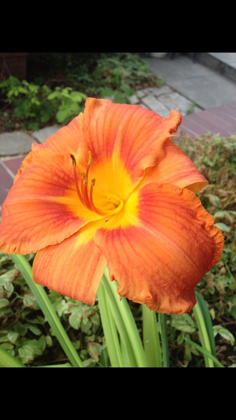 Photo of Daylily (Hemerocallis 'Mauna Loa') uploaded by SpringGreenThumb