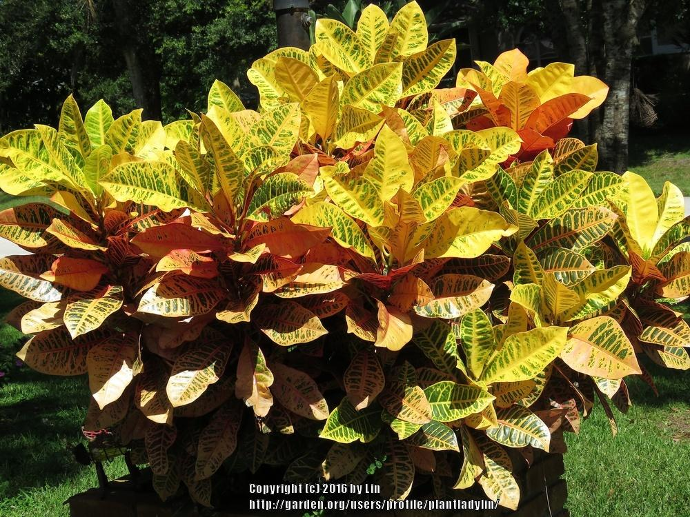 Photo of Crotons (Codiaeum) uploaded by plantladylin