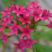 Location: Winter Springs, FL zone 9bDate: 2013-01-18I have no idea what cultivar most my pentas are, but th