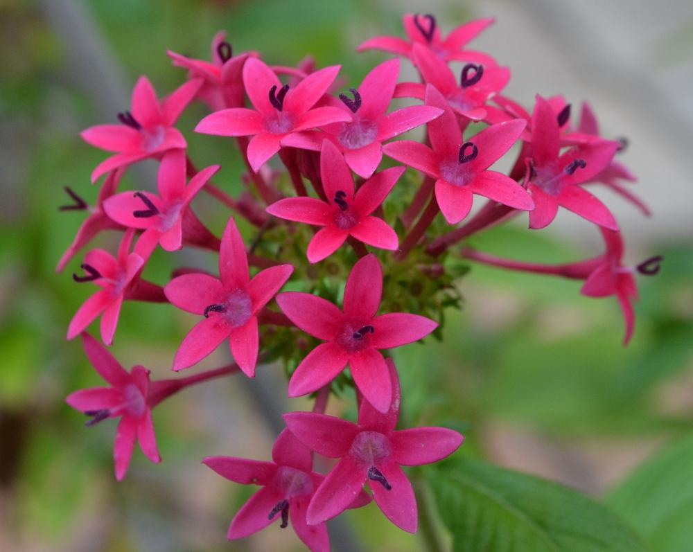 Photo of Star Flower (Pentas lanceolata) uploaded by sunkissed