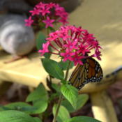 Location: Winter Springs, FL zone 9bDate: 2013-01-18Butterfly magnet, makes great photo opportunity. These bloom all