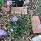 Location: Dallas, TX Zone 8aDate: 2016-04-13This was one of the 1st of my perennials to emerge in the spring