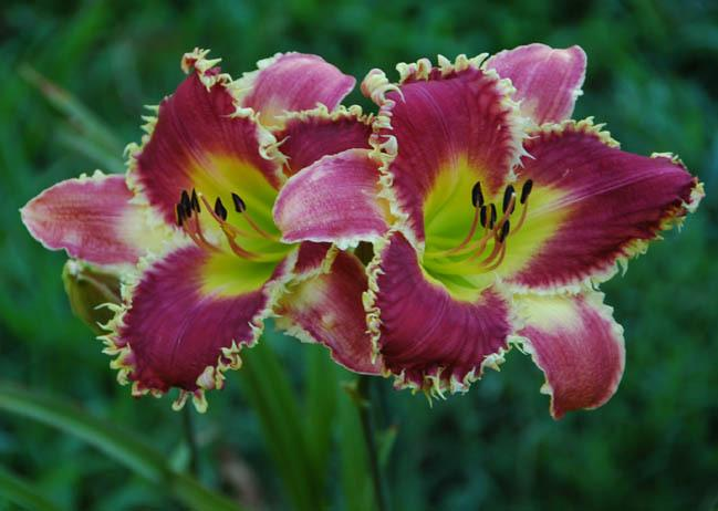 Photo of Daylily (Hemerocallis 'Venus Flytrap') uploaded by shive1